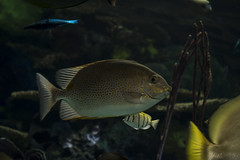 Ripley's Aquarium 2017 (Rick 2025) Tags: toronto mapleleaftours 2017 ripleysaquarium fish venusopticslaowa60mmf28