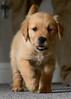 Riley, about 9 weeks old (Peeb-OK) Tags: dog golden retriever goldenretriever puppy cute sweet animal pet