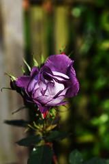 DSC_8646 (PeaTJay) Tags: nikond750 sigma reading lowerearley berkshire macro micro closeups gardens outdoors nature flora fauna plants flowers rose roses rosebuds