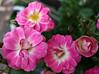 2017 Sydney: Pink Roses #1 (dominotic) Tags: 2017 flower petals pinkrose nature rosebuds sydney australia