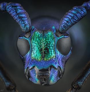 Long horned beetle (Euporus dubius) Euporus sp. Cerambycidae