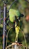 Ring Necked Parakeet (103) (John Carson Essex UK) Tags: thegalaxy thegalaxystars rainbowofnature supersix borntofly
