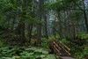 Old Cedar forest in Koodany NP (Aherzog81) Tags: gelb green forrest a6000 canada ceder mystic old