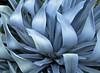 blue agave... (mar-itz) Tags: agave plant nature blue azul planta naturaleza california sandiego green verde lines curves art lineas curvas