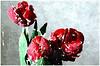 Warum sind wir so verliebt (amras_de) Tags: blüte blume flor cvijet kvet blomst flower floro õis lore kukka fleur bláth virág blóm fiore flos žiedas zieds bloem blome kwiat floare ciuri flouer cvet blomma çiçek zeichnung dibuix kresba tegning drawing desegnajo dibujo piirustus dessin crtež rajz teikning disegno adumbratio zimejums tekening tegnekunst rysunek desenho desen risba teckning çizim tulpe tulipa tulipan tulipán tulip tulipo tulppaanit tulipe tulpes tulp tulipanslekta lalea tulpie tulpansläktet lale