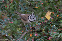 Parus cristatus - Crested tit (bollejeanclaude) Tags: oiseaux passeraux insectivores nature mésanges birds vogels longchamps wallonie belgique be nikoniste nikond750