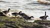 Brent Geese (_jons_) Tags: hilbreisland hilbre nature naturephotography wildlife wildlifephotography birds birding birdingphotography birdwatching birdphotography