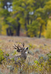 Is It Better At The Top? Mule Deer Buck Reaching For The Top Leaves - 1850b+ (teagden) Tags: mule deer buck muledeer muledeerbuck muley jenniferhall jenhall jenhallphotography jenhallwildlifephotography wildlifephotography wildlife nature naturephotography wyoming wyomingwildlife photography wild nikon fall fallcolors autumn autumncolors rain snow muleybuck reaching isitbetteratthetop