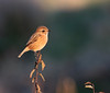 3 Female Stonechat, Crisp golden autumn afternoon at Oare KWT nature reserve (Jim_Higham) Tags: oare kwt nature reserve kentwildlifetrust wild wildlife natural kent england english british britain uk eu europe