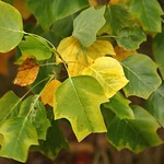 Greens and Golds   American Tulip Tree thumbnail