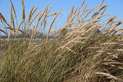 Beach grass blowing in the wind, Oceanside, Oregon (nikname) Tags: oregonbeaches beachgrass seascape