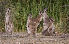 lagoon creek - family portrait (Fat Burns ☮ (on/off)) Tags: roo kangaroo easterngreykangaroo fauna australianfauna nikond500 sigma150600mmf563dgoshsmsports lagooncreek barcaldine australia macropusgiganteus nature outdoors queensland
