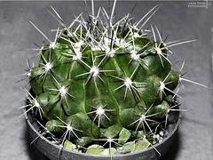 Extracto verde (LauraOsb) Tags: cactus flora espinas