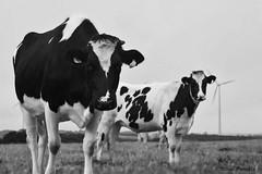 vache en Net b (pamélaroué) Tags: noir et blanc black white génisse vache cow plouguin
