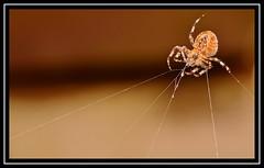 """Yet More Munchin' On My Web... Tasty Stuff...!!!"" (NikonShutterBug1) Tags: macro closeup nikond7100 tokina100mm spider insects entomology nature wildlife spe smartphotoeditor arachnology araneology arachtober gardenspider orbweaver web webeating raindrops waterdroplets"