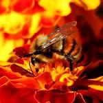 Bee and Marigold thumbnail