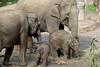 Olifanten Amersfoort (K.Verhulst) Tags: kina indra warwar yunha amersfoort dierenparkamersfoort asiaticelephants aziatischeolifanten olifanten elephants elephant thabo