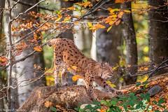 Elusive Lynx (Nedko Nedkov) Tags: autumn bavaria fall cub kid kitten lynx mum wildlife