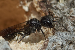 Luizendoder, Pemphedron spec.,  die haar larven voedt met bladluizen. (hansKiek) Tags: luizendoder pemphedron wesp wassenaar zuidholland thenetherlands nl wasp wespe