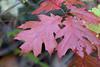 2779 Red Oak (vtbirdhouses) Tags: redoak
