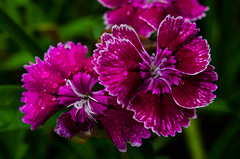 Colorful Flowers In Nature (Rajborbhatkar) Tags: nature natural beauty background rain day rainy season water waterdrops forest flower plants color wild wildlife green backgrounds shine sharp small garden love look beautiful picture photography good drops pink flowers india