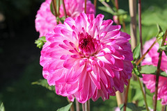 Dahlia 'Lollipop' - BG Berlin (Ruud de Block) Tags: berlinbotanicalgarden botanischergartenberlin asteraceae compositae dahlialollipop ruuddeblock