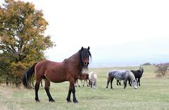 wild horses in their nature habitat (Amir Guso) Tags: horse pferd landscape autumn herbst horses canon bosnia livno bosniaandherzegovina animal tier landschaft nature 70d eos falltime natur travel hiking hike reisen