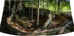 Ficus macrophylla (dustaway) Tags: moraceae ficus ficusmacrophylla moretonbayfig australiantrees australianrainforesttrees roots rous alstonvilleplateau northcoast nsw australia arfp qrfp nswrfp subtropicalarf bigscrubremnants dryarf
