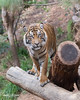 Nelson (ToddLahman) Tags: nelson teddy joanne mammal male portrait photooftheday beautiful escondido eyelock exhibita tiger tigers tigertrail sandiegozoosafaripark safaripark sumatrantiger outdoors