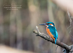 Common Kingfisher (www.nature-klik.com) Tags: kingfisher commonkingfisher ijsvogel ijssel