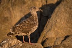 Young Western Gull (Bob.Z) Tags: pacificgrove california unitedstates us marinegardenspark ca usa pacific ocean sea rocks shoreline coastline seaside birds nature