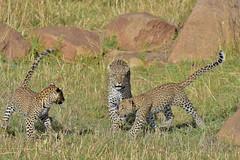 African Safari. Playing leopard cubs. (Lena and Igor) Tags: safari travel africa tanzania serengeti leopard cubs sunlit dslr fx nikon d810 sigma 150600 contemporary play game