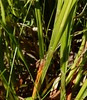 Carex intumescens (John Scholze) Tags: shining bur grreater bladder sedge carex intumescens wisconsin wetland