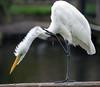 _5D37394 copy 2 (dendrimermeister) Tags: wildlife captive fauna animal avian bird scratch itch