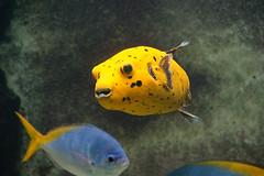 DSC02894 (Christine Gerhardt) Tags: aquarium deutschland fisch kugelfisch schwarzfleckkugelfisch stuttgart tierfoto wilhelma zoo