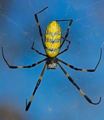 Hasta la vista, baby (mishko2007) Tags: nephilaclavata goldenorbwebspider arnoldschwarzenegger korea 105mmf28