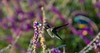 Just a sip of nectar (Nikhil Ramnarine) Tags: california raggedpoint bigsur hummingbird flower nectar feeding