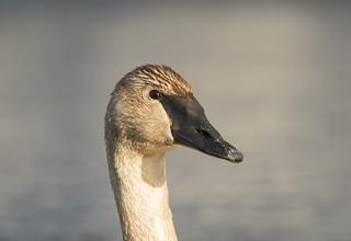 Portrait Cygne trompette   -  Trumpeter Swan  -