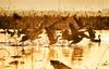 Let's go! (HIromi Kano) Tags: kurihara miyagi japan tome nature wildbird wildlife wildgoose bird asia animal water 日本 伊豆沼 宮城県 栗原市 登米市 マガン 雁 自然 野鳥