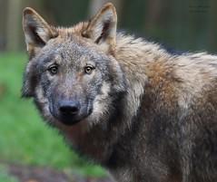 PETJA (babsbaron) Tags: nature tiere animals wolf wölfe europäischergrauwolf europeangreywolf wolves wildpark lüneburgerheide