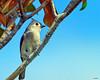 Tufted Titmouse (Stan in FL) Tags: tuftedtitmouse baeolophus bicolor birds birding nikon 500 marion county fl florida