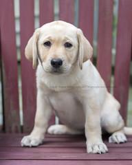 Little Georgia (dog ma) Tags: georgia yellow lab labrador puppy dogma petportrait jodytrappephotography nikon d750 nikkor 50mm red adirondack chair
