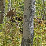 Moose_2017.9.25-3_ed1 thumbnail