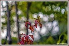 Beginnende Herbstfärbung (günter mengedoth) Tags: autumn bunt blatt farbe verfaerbung strauch carlzeissjenabiometar80mmf28 carlzeissjenabiometar2880mm saariysqualitypictures biometar80 bokehlicious pentaxk1 ricoh carlzeissjena zk p6 pentaconsix general macro nature