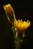 The Power of Two (tpolakovic) Tags: macro flower rimlight