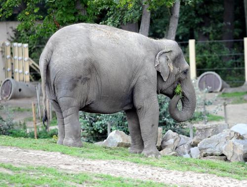 Elephant Planckendael