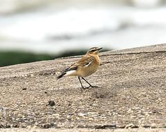 Wheatear bird Broadstairs (philbarnes4) Tags: wheatear broadstairs thanet kent england dslr philbarnes nikon5500 coast wildlife