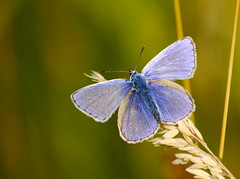 common blue, male (#christopher#) Tags: macro butterfly commonblue insect meadow