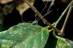 Harvestman (Opiliones) - DSC_9975 (nickybay) Tags: malaysia borneo borneobootcamp sabah danumvalleyfieldcentre danumvalley macro harvestman opiliones mites