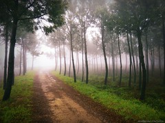 GR III (explore) (Guillermo Carballa) Tags: forest woods fog mist colors light trees pines carballa lx5 spring